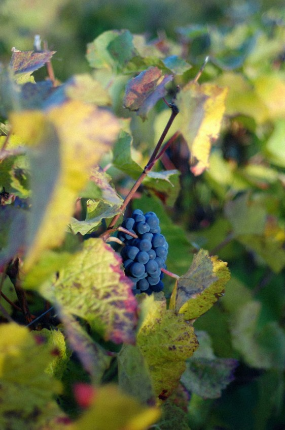 terre-d-or_beaune_vignes_raisin